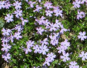 spring flowers  (15)