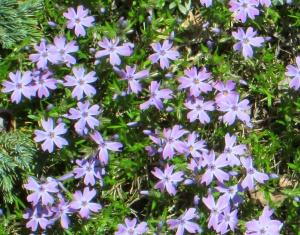 spring flowers  (16)
