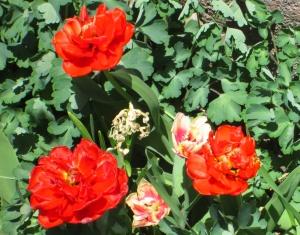 spring flowers  (27)