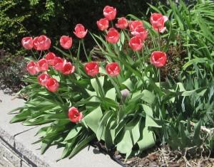 spring flowers  (38)