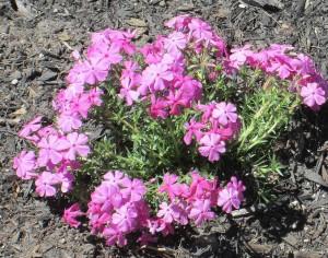 spring flowers  (39)