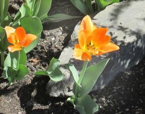 spring flowers  (5)