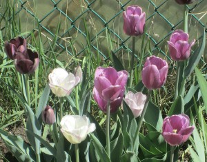 spring flowers  (50)
