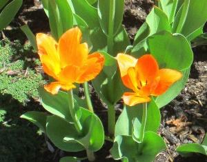 spring flowers  (6)