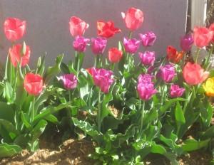spring flowers  (70)