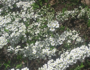 spring flowers  (81)